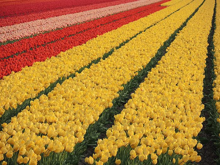 Тюльпанные Поля, Нидерланды